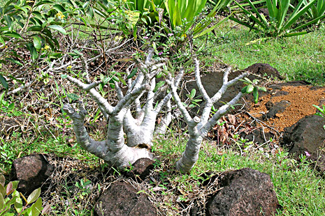 Photo pachypodium